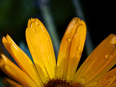 golden petals 400x300