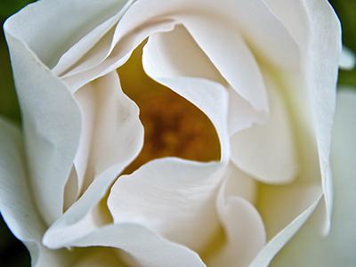 white-rose-400x300