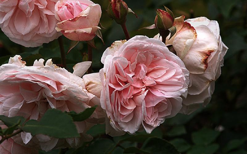 susan roses 800x500